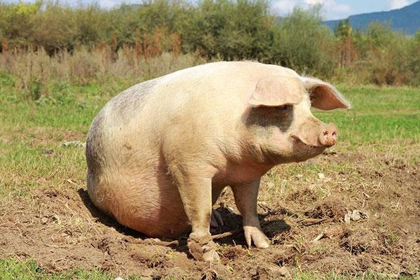 风水故事:猪拱的富贵